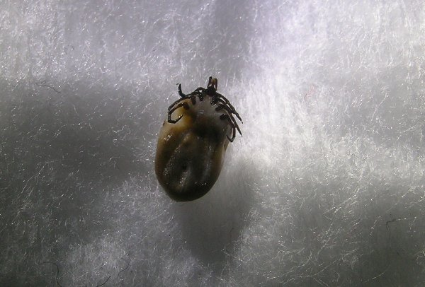 Another view of a successfully removed tick